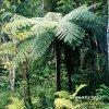Stromovitá kapradina (Polypodiophyta)