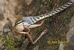 Svijovka (Dendrelaphis tristis)
