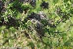 Tillandsia recurvata (Tillandsia recurvata)