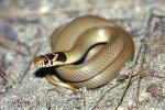 užovka drobná (Eirenis modestus)