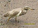 Volavka hnědohřbetá (Ardeola grayii)