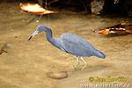 Volavka modrošedá (Egretta caerulea)