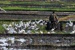 Volavka rusohlavá, v.stříbřitá (Bubulcus ibis, Egretta garzetta)