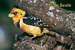 Vousák Levaillantův (Trachyphonus vaillantii)