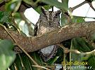 Výreček indický (Otus bakkamoena)