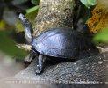 Želva hřebenatá (Melanochelys trijuga parkeri)