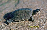 Želva kaspická (Mauremys caspica)