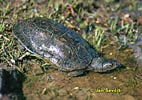Želva maurská (Mauremys leprosa)