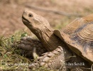 Želva ostruhatá (Geochelone sulcata)