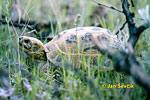 Želva stepní (Testudo Agrionemys horsfieldi)