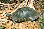 Želva vroubená (Testudo marginata)