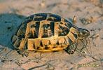 Želva žlutohnědá (Testudo graeca)