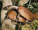 Želva zuboštítá (Geoemyda spengleri)