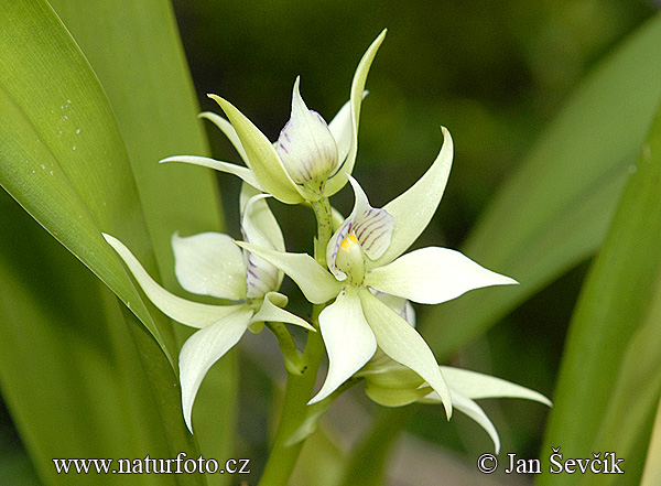 Orchidej (Encyclia fragrans.)
