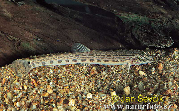 Sekavec podunajský (Cobitis elongatoides)