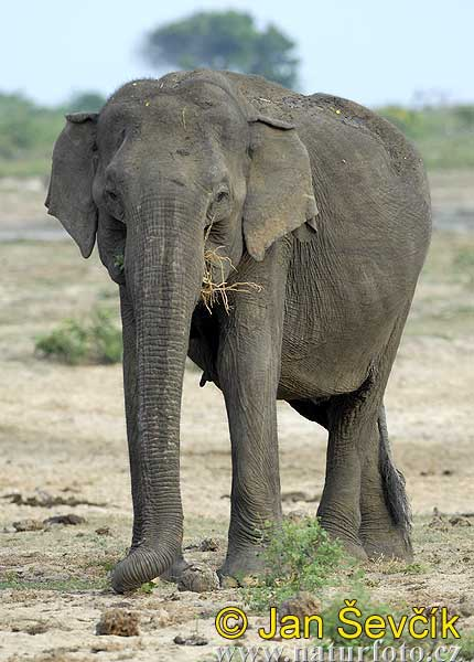 Slon indický (Azijinis dramblys - Elephas maximus)