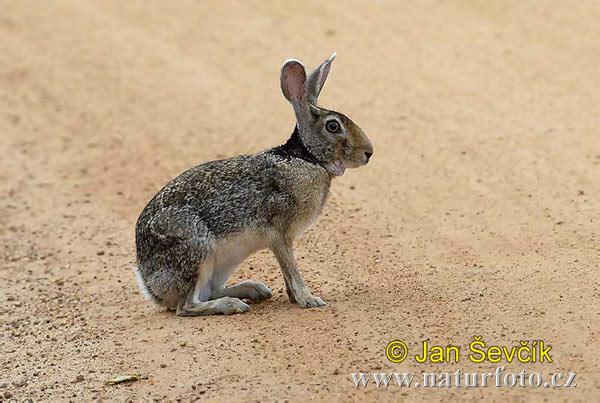 Zajíc černotýlý (Lepus nigricollis)