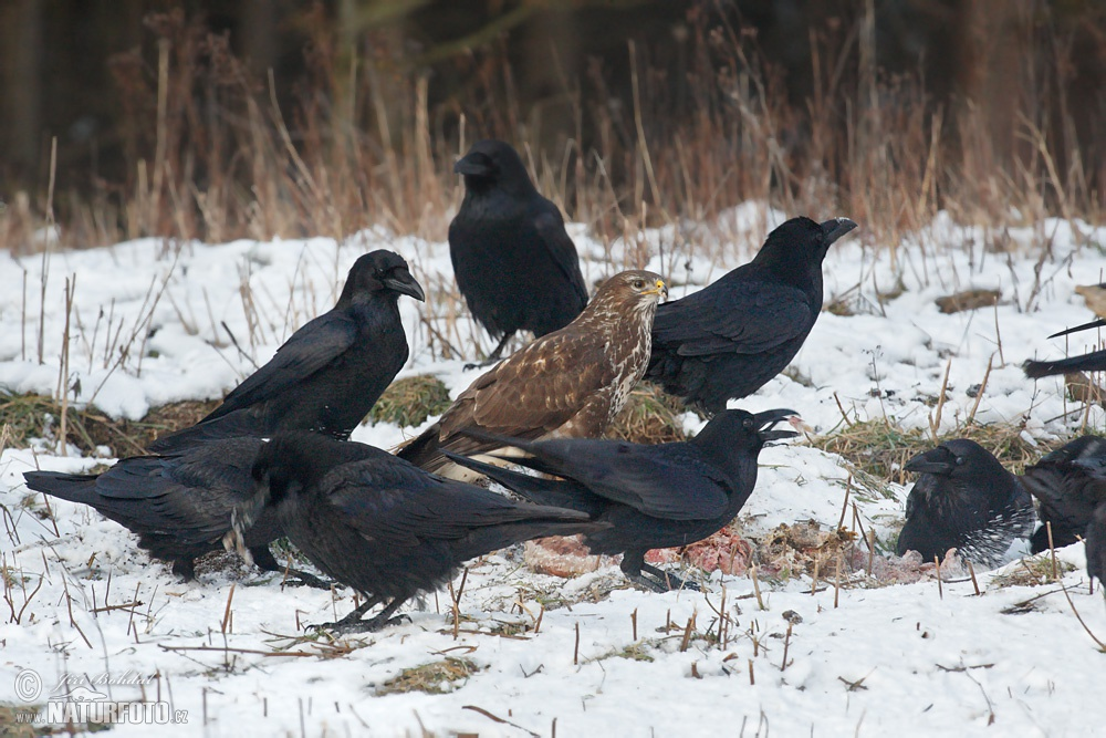 dloha videa velký ptáci