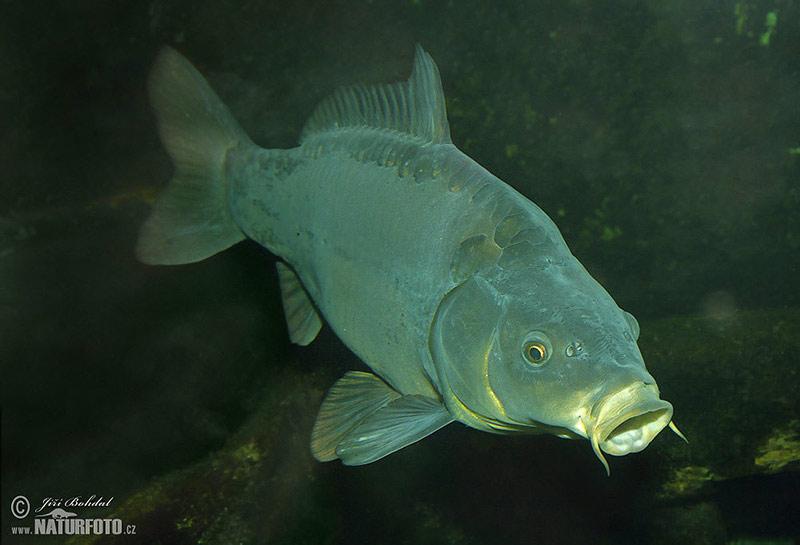 Ryby fotky for Teichfische arten